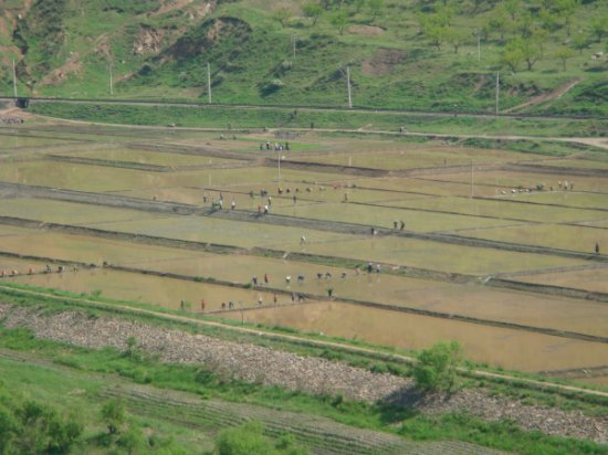 Non-farmers pressed into service to plant rice fields
